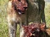 Blutige Löwen
