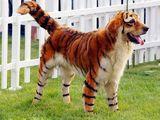 Tiger Hund