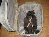 Katze im Handgepäck