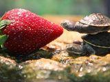 Schildkröte küsst Erdbeere