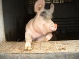 Das lachende Schwein