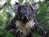 Nasser böser Koala