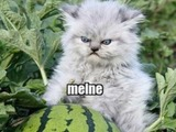Melonenkatze
