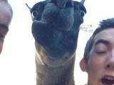 Kamelschnauze