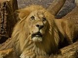 Erschrockener Löwe