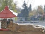 Verfressenes Eichhörnchen
