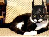 Batkatze