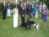 Hund pinkelt Braut an