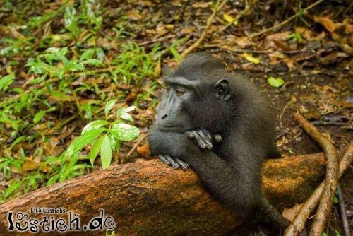 Verträumter Affe