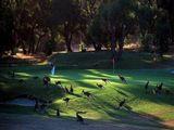 Känguruhplage auf Golfplatz