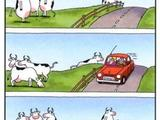 Kühe und Autos