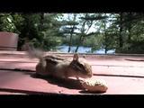 Streifenhörnchen ist verwirrt
